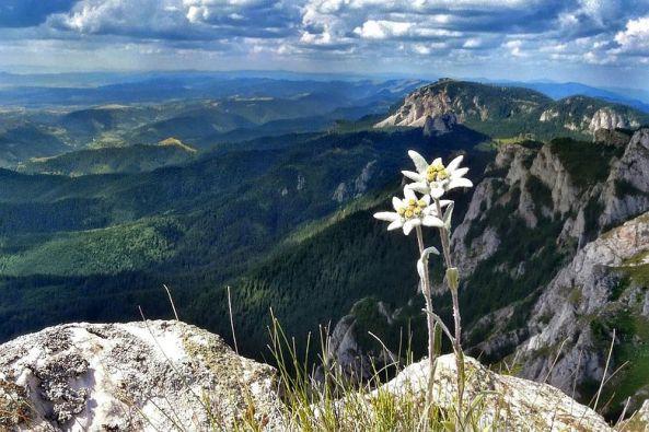 adelaparvu.com-despre-floarea-de-colt-in-gradina-si-la-ghiveci-text-Carli-Marian-13